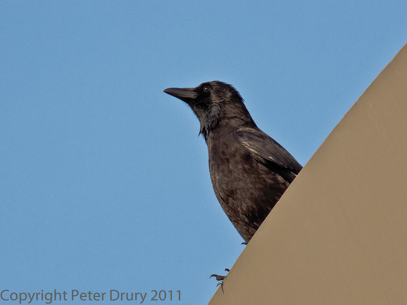 16 Oct 2011 Carrion Crow near to the Mountbatten Centre, Portsmouth.