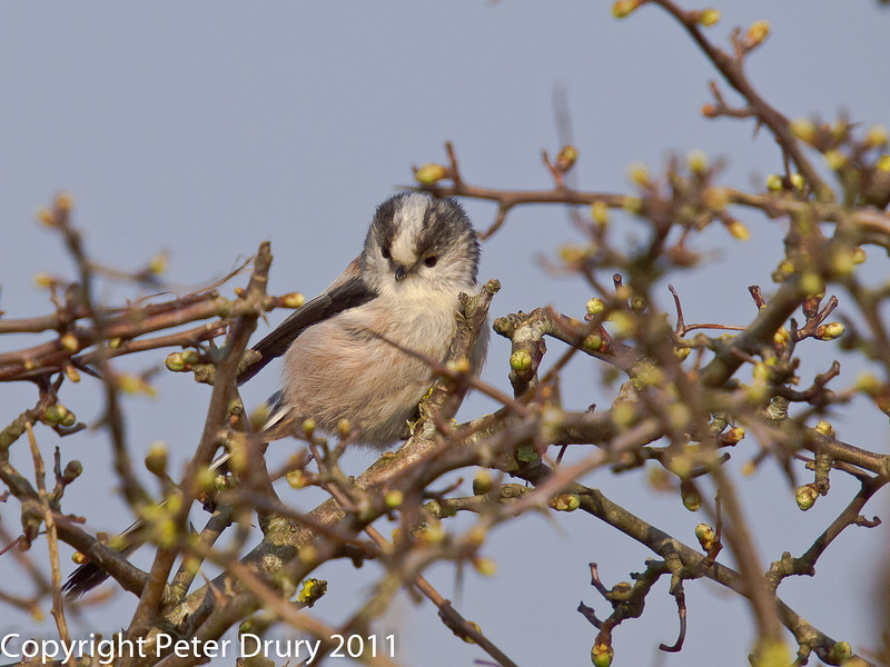 21 March 2011. Long-tailed tit on the Hayling Billy Trail.  Copyright Peter Drury 2011