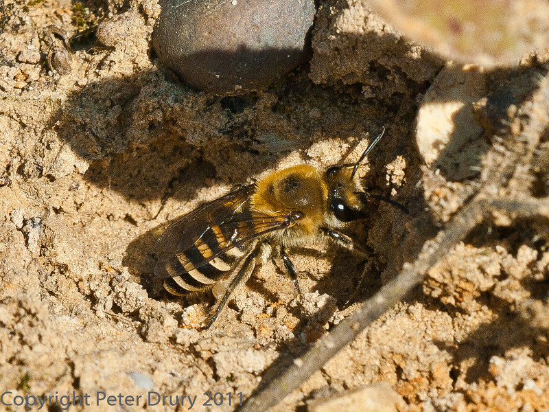 29 Sep 2011 Female Ivy mining Bee at Plant Farm