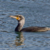 13 Dec 2010 - Cormorant at Broadmarsh. Copyright Peter Drury 2010. From RAW file