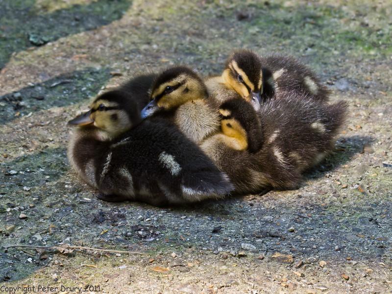 04 July 2011. Mallard ducklings at Keydell Nursery. Copyright Peter Drury 2011