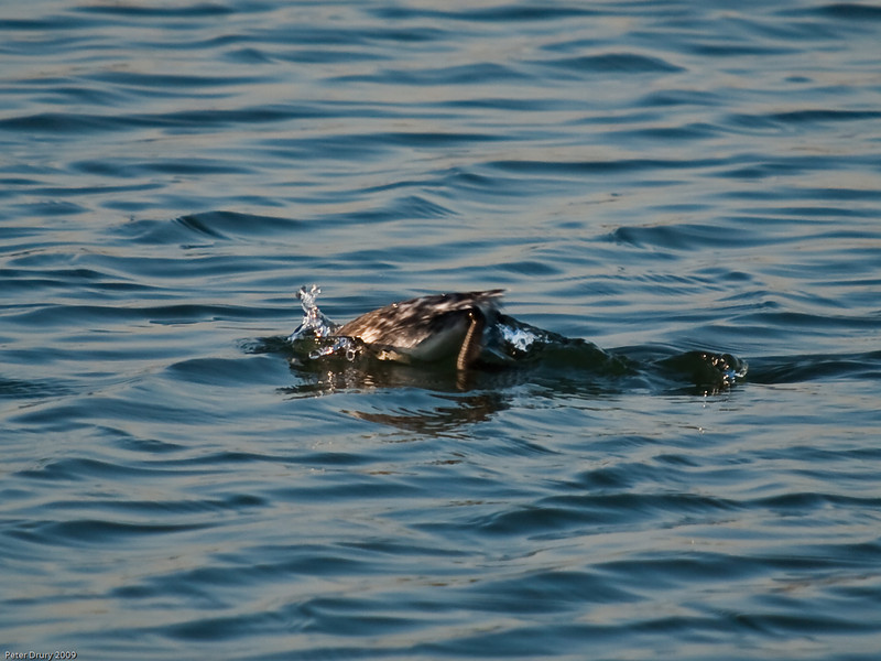Horned Grebe (Podiceps auritus). Copyright 2009 Peter Drury
