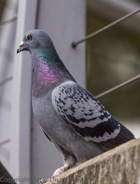 This bird bears a strong resemblance to the Rock Dove (Columba livia) with its striped wing pattern and the neck of Stock Dove (Columba oenas).