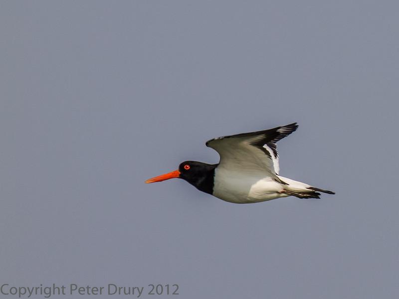 23 May 2012 Oystercatcher flying to its feeding ground