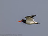 23 May 2012 Oystercatcher flying to its feeding ground