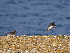17 February 2011. Ringed Plover + Dunlin Landing. Copyright Peter Drury 2011