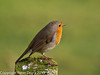 24 February 2011. Robin, alonside the Hayling Billy trail. Copyright Peter Drury 2011
