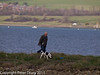 06 March 2011. Dog walker on outer bunds at the Oysterbed site. Copyright Peter Drury 2011