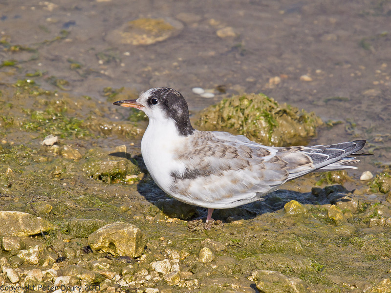 03 July 2011. Common Tern fledgling at the Oysterbeds. Copyright Peter Drury 2011
