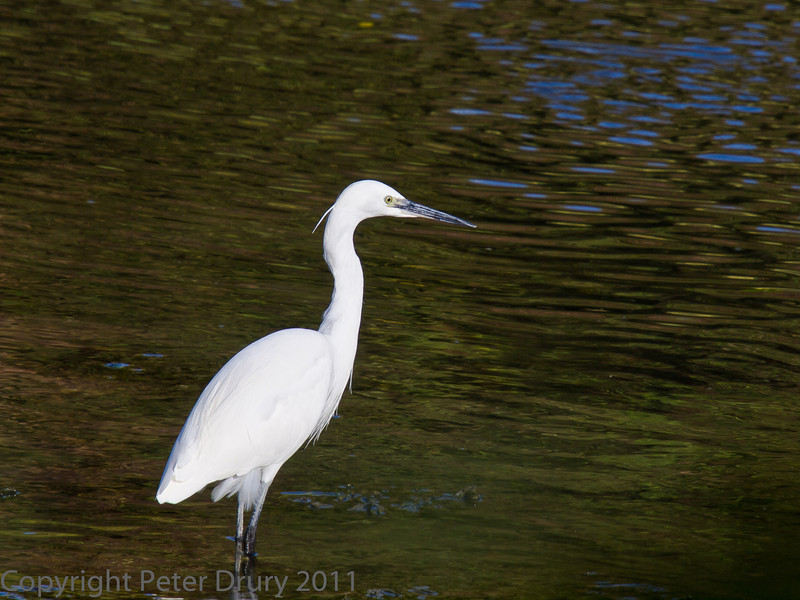 18 Oct 2011 Little Egret at Broadmarsh.