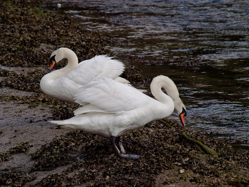 Mute Swan (Cygnus olor). Copyright Peter Drury 2010<br /> This part of the Hermitage stream is tidal. These swans take advantage of a mud 'island' exposed at low tide.
