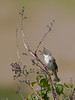 Whitethroat (Sylvia Communis). Copyright Peter Drury 2010