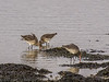 29 January 2012 Black-tailed Godwit feeding in the bay between the two bridges and opposite the Sailing Club.