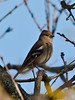 Chaffinch (Fringilla coelebs). Copyright Peter Drury 2010