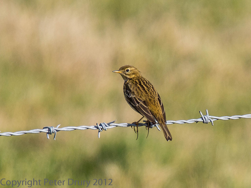 26 Feb 2012 Meadow Pipit at Southmoor,