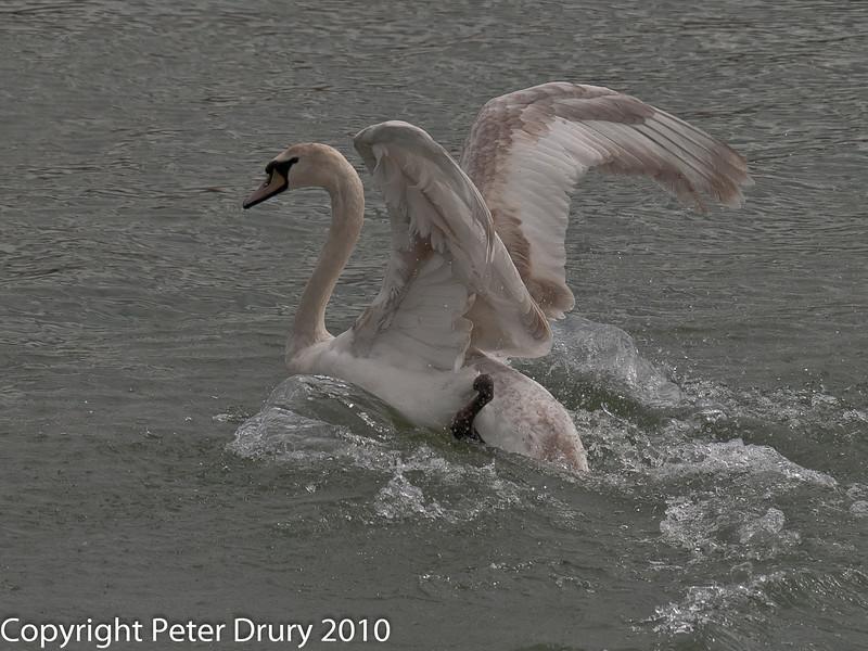 28 Aug 2010 - Juvenile Mute Swan. Copyright Peter Drury 2010