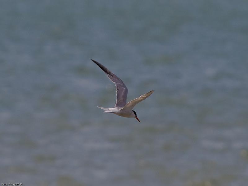 Common Tern (Sterna hirundo). Copyright Peter Drury 2009<br /> Fishing off the Southmoor coastline, Langstone Harbour
