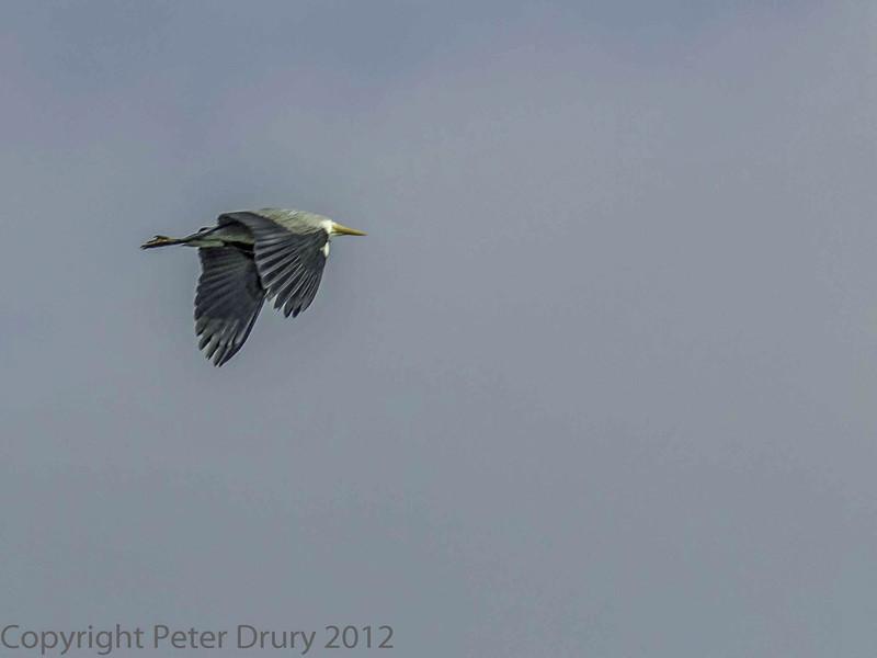 26 February 2012 Grey Heron over the Hermitage Stream