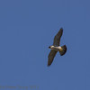 22 June 2013 Female Peregrine in flight over the quarry.