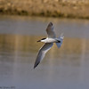 04 July 2011. Sandwich Tern flying over the lagoon. Copyright Peter Drury 2011