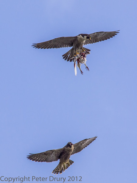 18 June 2013 Female Peregrine (top) with prey, chased by a fledgling who is calling out loudly for attention.