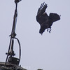 Raven diving at the Peregrine at Portsdown Hill