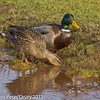 21 March 2011. Mallard in the marsh alongside the Hayling Billy Trail.  Copyright Peter Drury 2011
