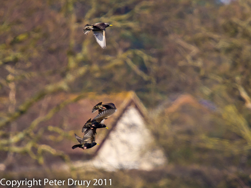 21 March 2011. Starling in flight in the marsh alongside the Hayling Billy Trail.  Copyright Peter Drury 2011