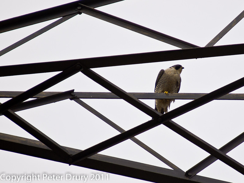 15 March 2011. Peregrine Falcon back at the nest site in the Chalk Quarry.  Copyright Peter Drury 2011