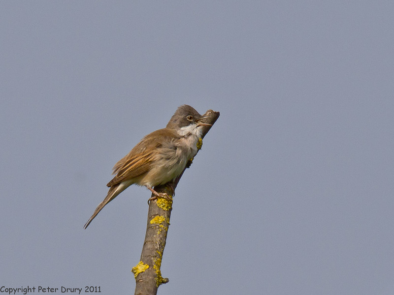 24 April 2011. Whitethroat at the Oysterbeds. Copyright Peter Drury 2011