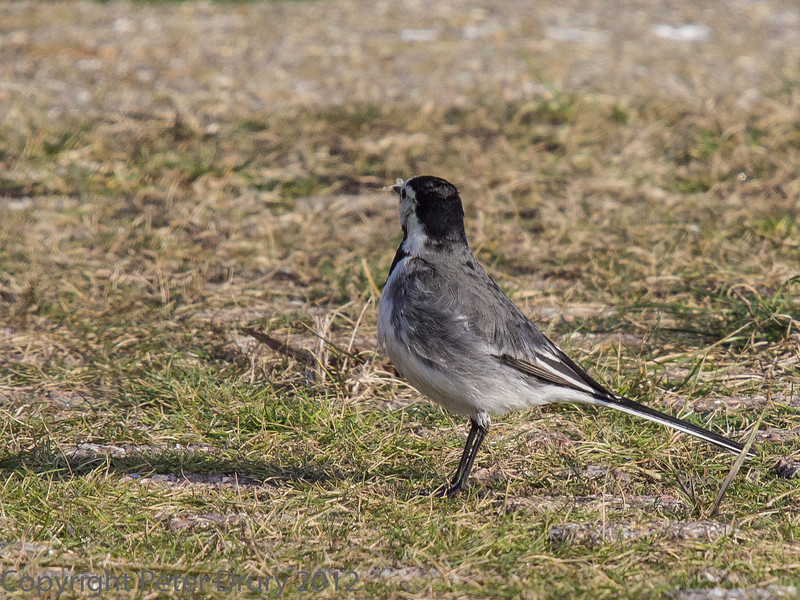 4 Feb 2010 Pied Wagtail at the slipway at Broadmarsh.