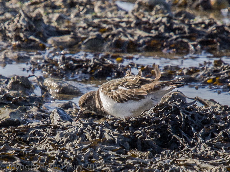 01 February 2012 Turnstone looking for food amongst the seaweed in Langstone Harbour.