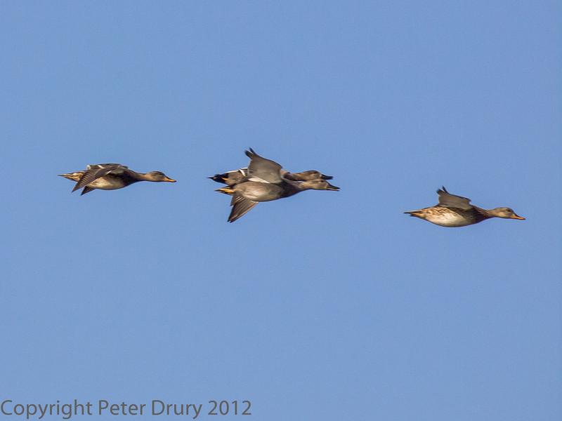 01 February 2012 Gadwall flying in from Langstone Harbour.