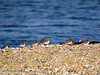 17 February 2011. Ringed Plover and Dunlin on South Island. Copyright Peter Drury 2011