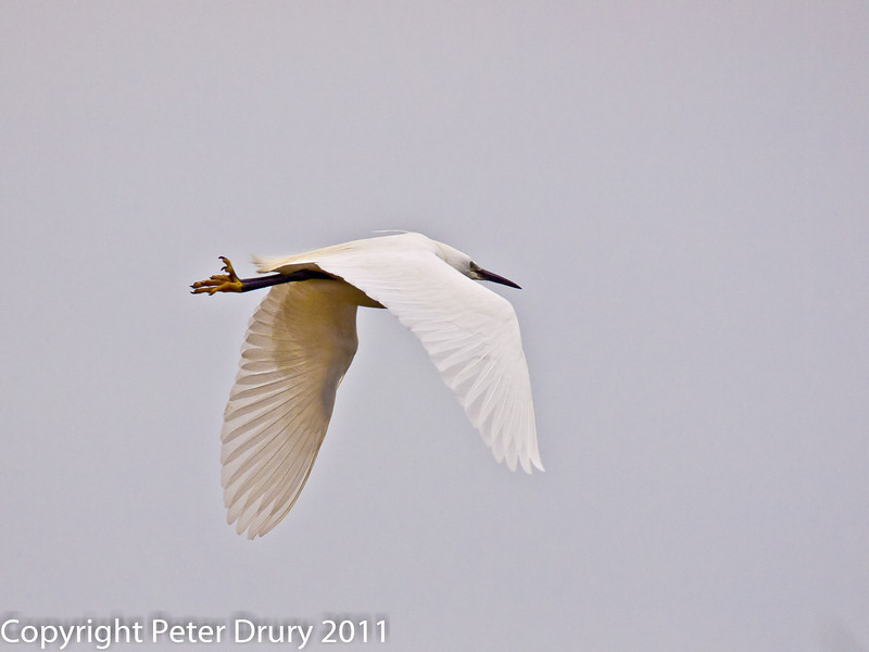11 March 2011. Little Egret at Keyhaven.  Copyright Peter Drury 2011