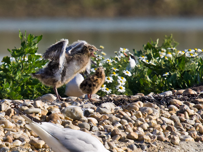 04 July 2011. An interesting comparison between the Black-headed Gull (left) and Common Tern chicks. Copyright Peter Drury 2011