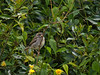 15 May 2011. Fledgling Sparrow at Widley. Copyright Peter Drury 2011