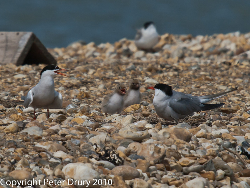 22 July 2010 - The youngest family of Common Tern remaining on South Island. Copyright Peter Drury 2010