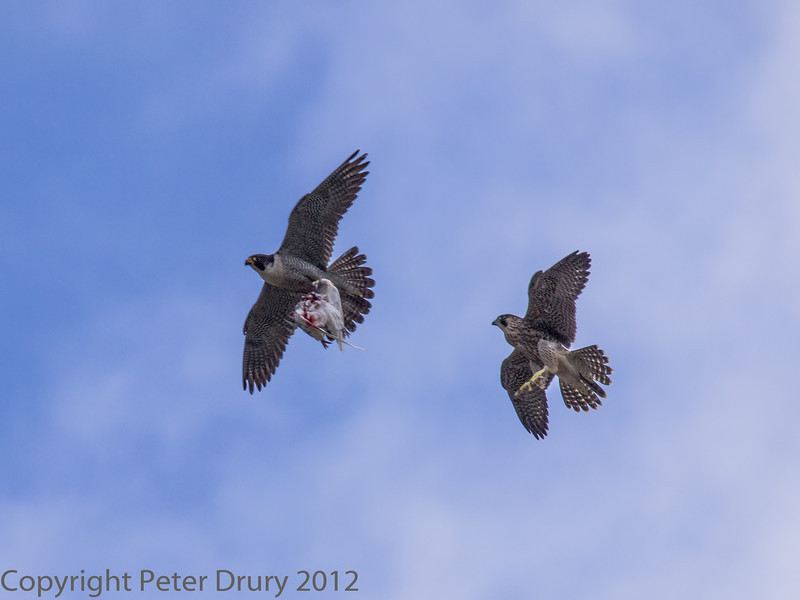 18 June 2013 Female Peregrine (front) with prey, chased by a fledgling.