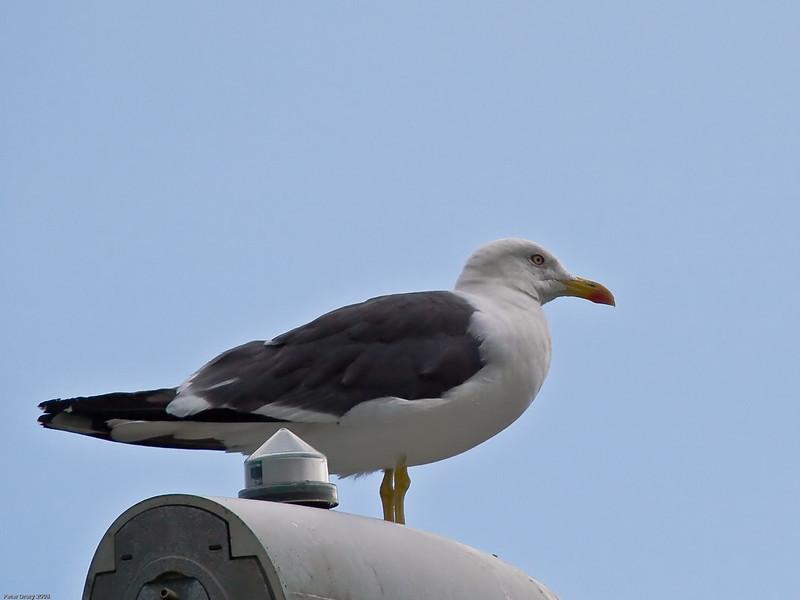 Great Black-backed Gull (Larus marinus). Copyright Peter Drury 2010