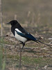 Magpie (Pica pica). Copyright Peter Drury 2010<br /> These birds are very common but if you ask most people what do they look like, they will say they are pied black and white. Not true. On a bright day the irredescent blue in their plumage stands out and they really look a handsome bird.