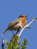 These Robins always welcome you on the HB trail with beautiful song. Always a pleasure to see and hear