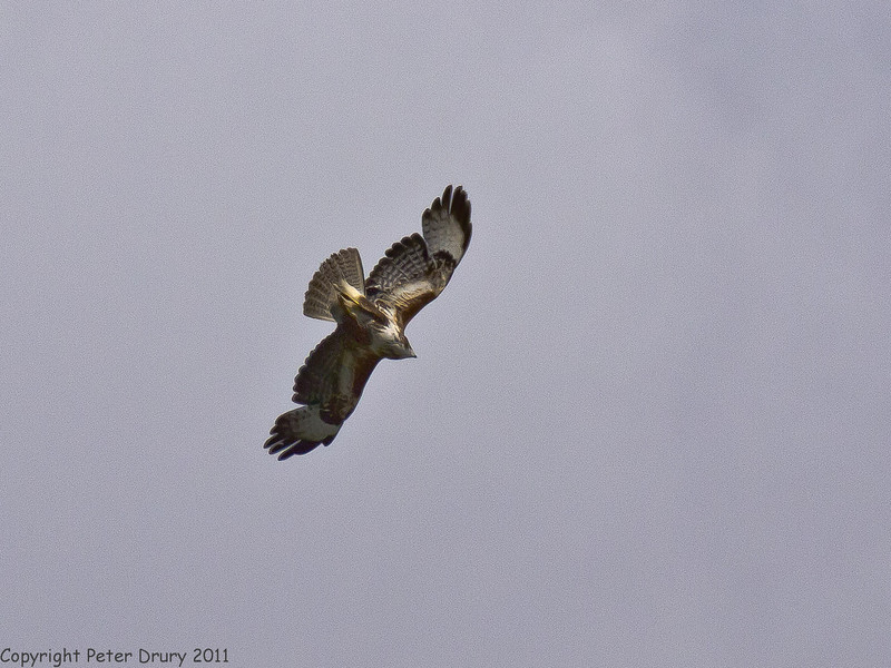 21 May 2011. Buzzard at the Chalk Quarry, Paulsgrove. The wings are beginning to form. Copyright Peter Drury 2011