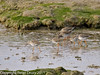 13 March 2011. Redshank in the old Oysterbeds.  Copyright Peter Drury 2011