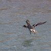 01 February 2012 Male Widgeon flying down the Hermitage stream.