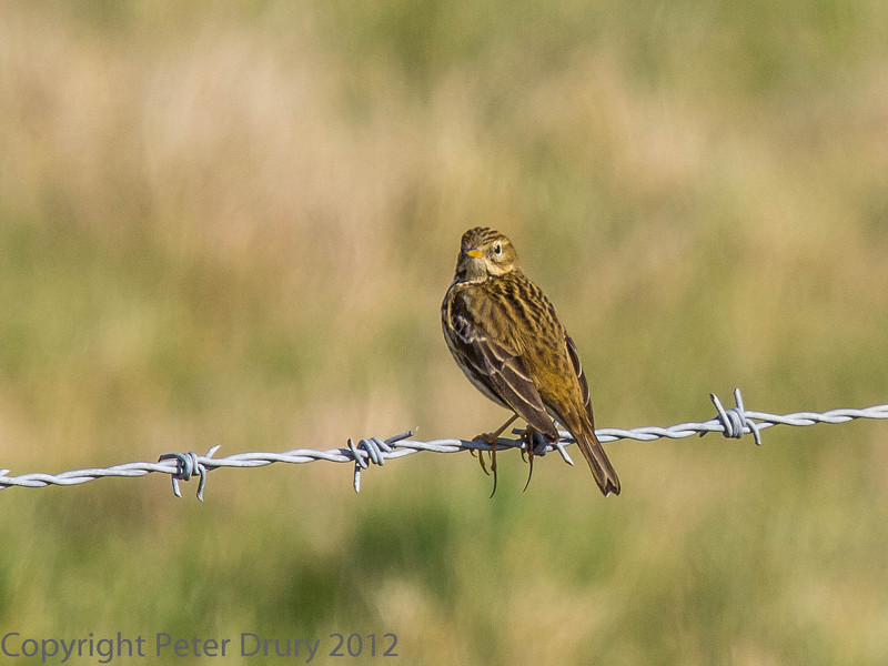 26 Feb 2012 Meadow Pipit at Southmoor