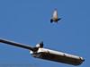 02 Oct 2011 Starling at Farlington Marshes