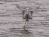 18 Mar 2012 Curlew at Broadmarsh