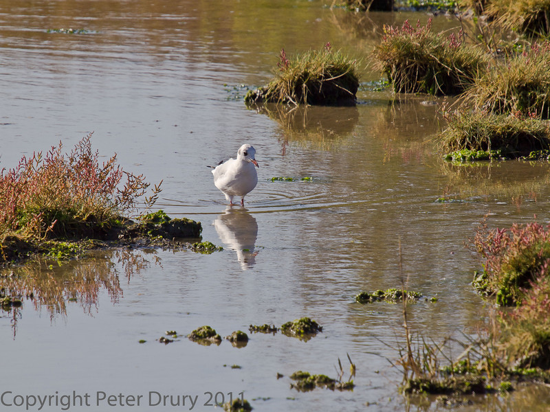 15 Oct 2011 Black-headed Gull at the Oysterbeds.
