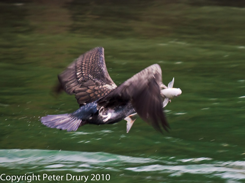 13 Mar 2010 - Cormorant at Broadmarsh. Copyright Peter Drury 2010. From RAW file